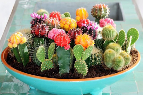 Colorful Cacti Plants