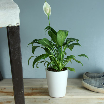 Potted Peace Lily Plant Gift Peace Lily Plant In A