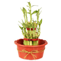 2 layers Lucky Bamboo in Fiber Woven Basket: Plants to Hyderabad
