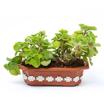 Ajwain Plant: Send Plants for Her