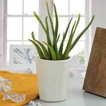 Beauty Of Aloe Vera: Plants - Same Day Delivery