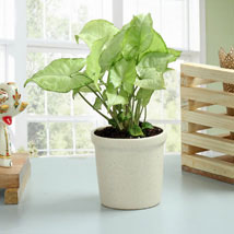 Elegant Syngonium Plant: Today Delivery of Plants