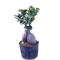 Ficus Microcarpa 100gm: Bonsai Plants