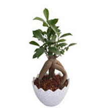 Ficus Microcarpa Plant: Plants for Her