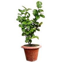 Jasmine Plant: Plants for Him