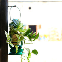 Money Plant Hanging: Plants for Mother's Day