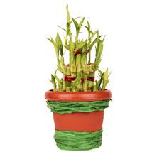 Pot Of Luck: Send Good Luck Plants