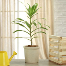 Song Of India Plant: Today Delivery of Plants
