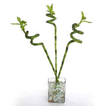 Spiral lucky sticks: Send Plants for Mothers Day